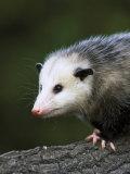 Opossum, Close-up Portrait, USA Fotografie-Druck von Mark Hamblin
