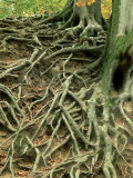 Common Beech, Showing Root System Above Ground, UK Photographic Print by Ian West