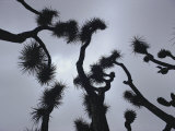 Branches of a Joshua Tree, Mojave Desert, Southern California Photographic Print by Sam Abell