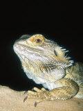 Bearded Dragon, Aquarium Animal Photographic Print by Stan Osolinski