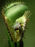 Venus Fly-Trap, Dionaea Muscipula, With House Fly, Coastal N.& S. Carolina Fotografisk tryk af David M. Dennis