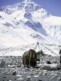 Yak in Front of Mount Everest Fotografisk tryk af Michael Brown