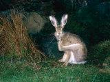 Brown Hare, Grooming, UK Fotografisk tryk af Mary Plage
