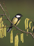 Great Tit, Perched on Hazel Catkins, UK Stampa fotografica di Mark Hamblin
