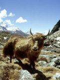 Domestic Yak, Khumbu Everest Region, Nepal Fotografisk tryk af Paul Franklin