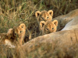 Trio of Six Week Old Lion Cubs Looking Over Sleeping Mother, Masai Mara National Reserve Kenya Lámina fotográfica por Adam Jones