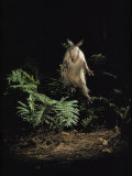 Fright Reflex Propels an Alarmed Armadillo Into the Air, Archbold Biological Station, Florida Impressão fotográfica por Bianca Lavies