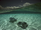 Two Stingrays Cruise the Shallows of the Caribbean Sea Fotografisk tryk af David Doubilet