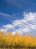 Aspens Show Their Autumn Color on a Sunny Day Photographic Print by Taylor S. Kennedy