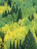 A View Across a Forest of Quaking Aspen and Evergreen Trees Photographic Print by Marc Moritsch