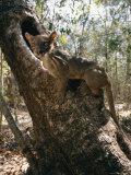 A Fossa Stands on a Tree Trunk Lámina fotográfica por Roy Toft