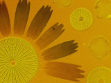 Microscopic Arrangement of Glass-Shelled Diatoms and Butterfly Scales Lámina fotográfica por Murawski, Darlyne A.