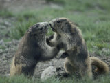 Olympic Marmots Photographic Print by Sam Abell