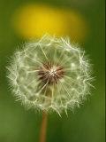 Close View of a Dandelion Gone to Seed Reproduction photographique par Nicole Duplaix