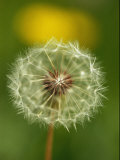 Close View of a Dandelion Gone to Seed Fotografisk tryk af Nicole Duplaix