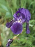 Close View of an Iris Reproduction photographique par Nicole Duplaix