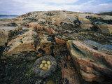 Eider Nest and Eggs Fotografisk trykk av Norbert Rosing