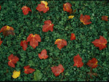 Red Maple Leaves Lie on Green Clover Grass Photographic Print by Vlad Kharitonov