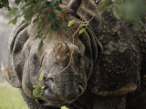 A Docile Looking Indian Rhino Chews on a Few Leaves Photographic Print by Vlad Kharitonov