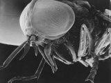 Scanning Electron Microscopic View of a Greenhead Fly Lámina fotográfica