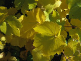 California Wild Grape Leaves (Vitis Californica) Photographic Print by Marc Moritsch