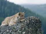 A Captive Female Lynx and Her Tiny Cub Survey the Surrounding Countryside Fotografisk trykk av Norbert Rosing