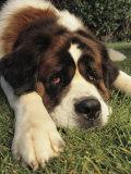Portrait of a Sad-Eyed Saint Bernard Dog 写真プリント : スティーブ・ウィンター