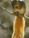 Ardilla zorro sobre una rama comiendo Lámina fotográfica por Sartore, Joel