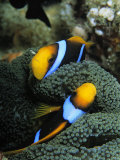 A Pair of Orange Fin Anemonefish Sleep Amid Sea Anemone Tentacles Photographic Print by Tim Laman