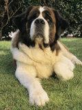 Portrait of a Saint Bernard Dog 写真プリント : スティーブ・ウィンター