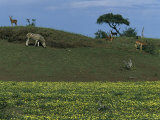 Zebras and Impalas Grazing on a Grassy Hill Photographic Print by Kim Wolhuter
