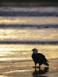 An American Bald Eagle Stands on the Shoreline 写真プリント : クラウス・ニッゲ