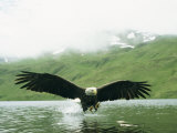 An American Bald Eagle Lunges Toward its Prey Below the Water Stampa fotografica di Klaus Nigge