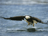 An American Bald Eagle Lunges Toward its Prey Below the Water 写真プリント