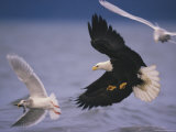 An American Bald Eagle Pursues a Gull with a Fish in its Beak 写真プリント