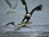 An American Bald Eagle Grabs a Fish in its Talons Fotografisk tryk af Klaus Nigge