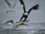 An American Bald Eagle Grabs a Fish in its Talons Stampa fotografica di Klaus Nigge
