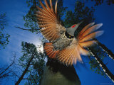 Red Shafted Northern Flicker in Flight Seen from Below Fotoprint av Michael S. Quinton