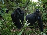 Two Mother Gorillas Carrying Their Children on Their Backs, Virunga National Park, Rwanda Lámina fotográfica por Nichols, Michael
