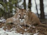 Mountain Lion Stalks its Prey Reproduction photographique par Jim And Jamie Dutcher