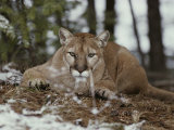 Mountain Lion Stalks its Prey Stampa fotografica di Jim And Jamie Dutcher