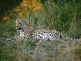 A Leopard Relaxes While Keeping a Lookout for Prey Reproduction photographique par Nicole Duplaix