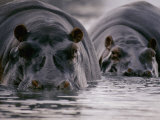 Two Hippopotamuses with Their Faces Half Submerged in the Water Fotografisk tryk af George F. Mobley