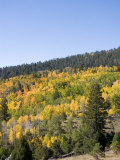 A Forest Changes Color in Autumn as the Aspen Trees Turn Golden Photographic Print by Taylor S. Kennedy