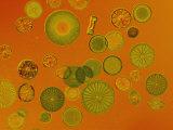 Diatoms Lámina fotográfica