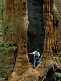 A Man Examines a Giant Fire Scar Left in a Sequoia Tree Fotografisk tryk af Phil Schermeister