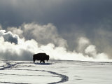 An American Bison Covered in a Coat of Snow Fotografisk tryk af Norbert Rosing