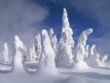 A Heavy Blanket of Snow and Fog Cover a Group of Pine Trees Fotografisk trykk av Norbert Rosing