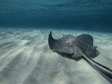 A Southern Stingray Swims Near the Ocean Bed Impressão fotográfica por Bill Curtsinger