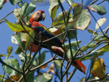 A Macaw Perches in a Tree 写真プリント : スティーブ・ウィンター